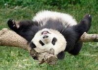 external image Smithsonian+National+Zoo+giant+panda+Washington+USA+giant+panda+endangered+species+giant+facts+about+pandas+bear+habitat+panda+bear+panda+migration+travel+destination+panda+cub+Photo+credit+Ann+Batdorf+Smithsonians+National+ZooJune+11+2006.jpg