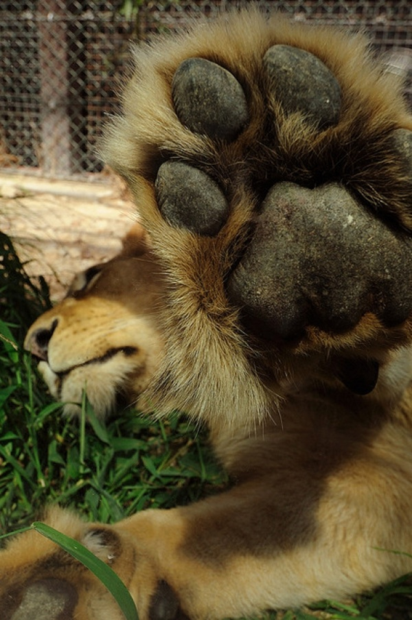 Funny lion doesn't want photographs, funny animals, funny animal pictures, animal photos