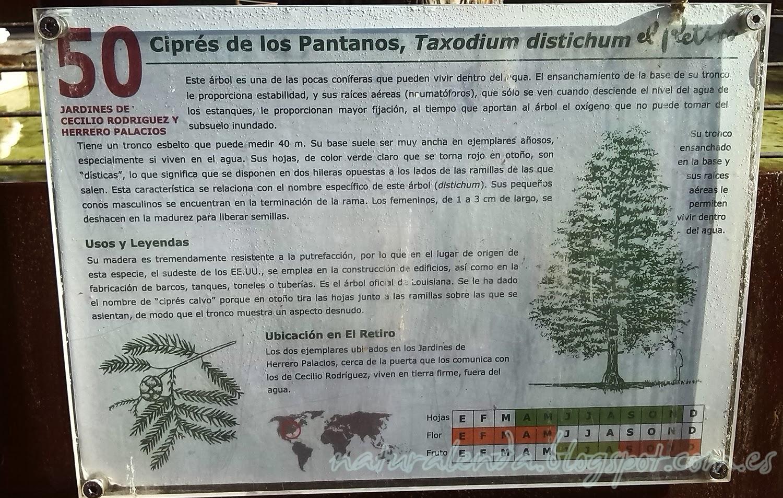 descripción del cipres de los pantanos