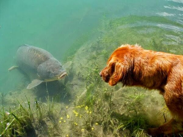 Funny animals of the week - 5 April 2014 (40 pics), golden retriever dog meets catfish