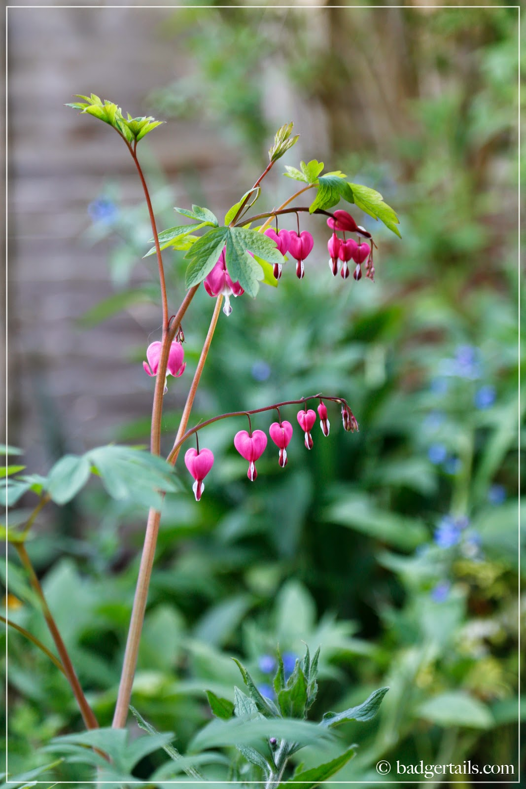 ©Badgertails.com Dicentra Spectabilis (Bleeding Hearts)