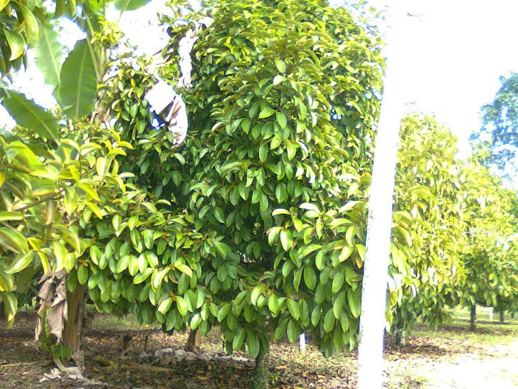 Árvore do mangostim
