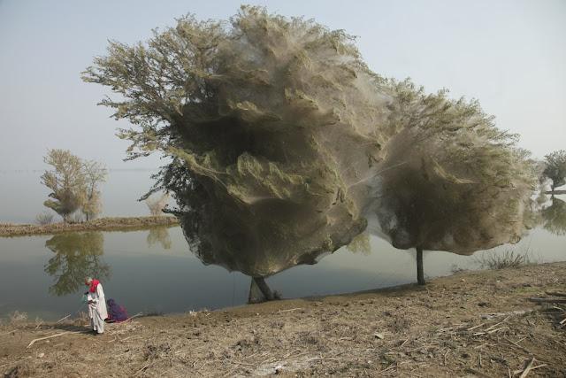 spiderwebs 7 in trees in sindh pakistan