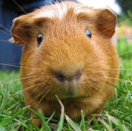 guinea pig square