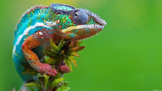 123441-Chameleon Animal HD Wallpaperz