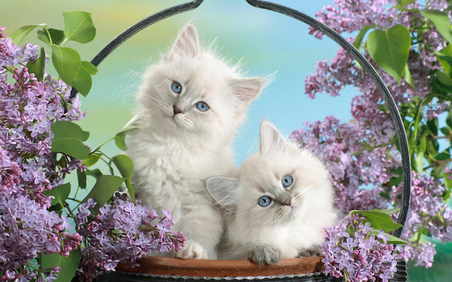 Blue Eyes Blossom Cat
