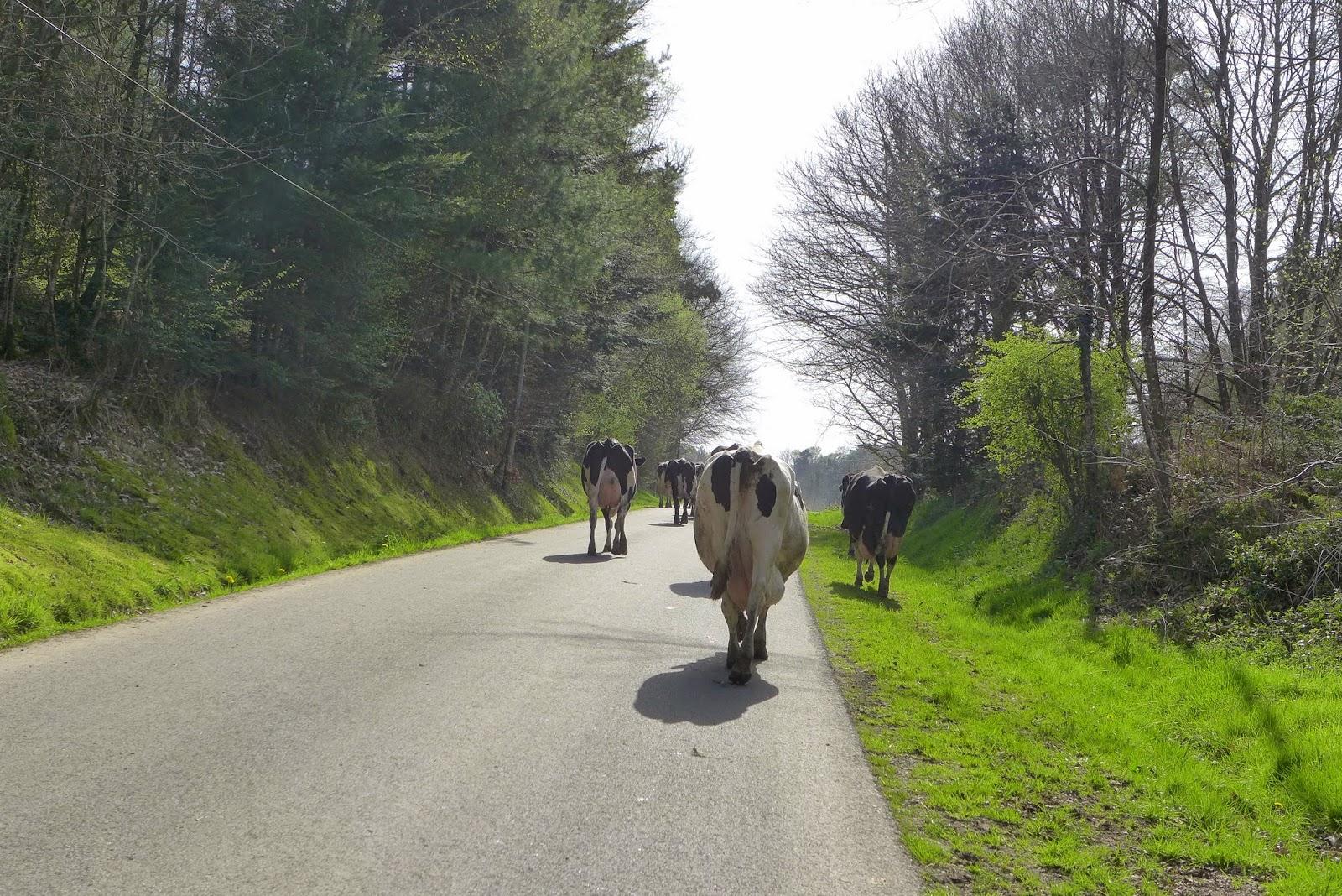 vaches bretonnes
