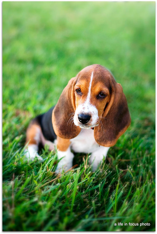 Best Heavy Chubby Adorable Dog - basset-pup  Image_537187  .jpg