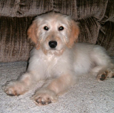 Cute Dogs: Golden Retriever Poodle Mix Maltese Shih Tzu Brown And White