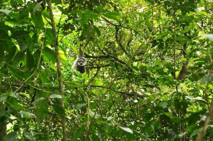 Keluarga Owa Jawa Dilepasliarkan di Hutan Gunung Malabar
