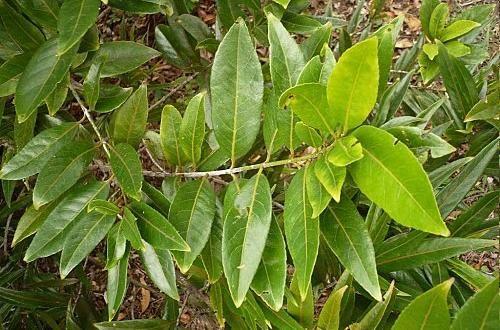 Bois rouge  Flore de l'île de la Réunion