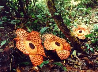 The Beautiful Rafflesia Cantleyi Flower