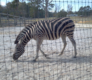 Zebra with neck bent