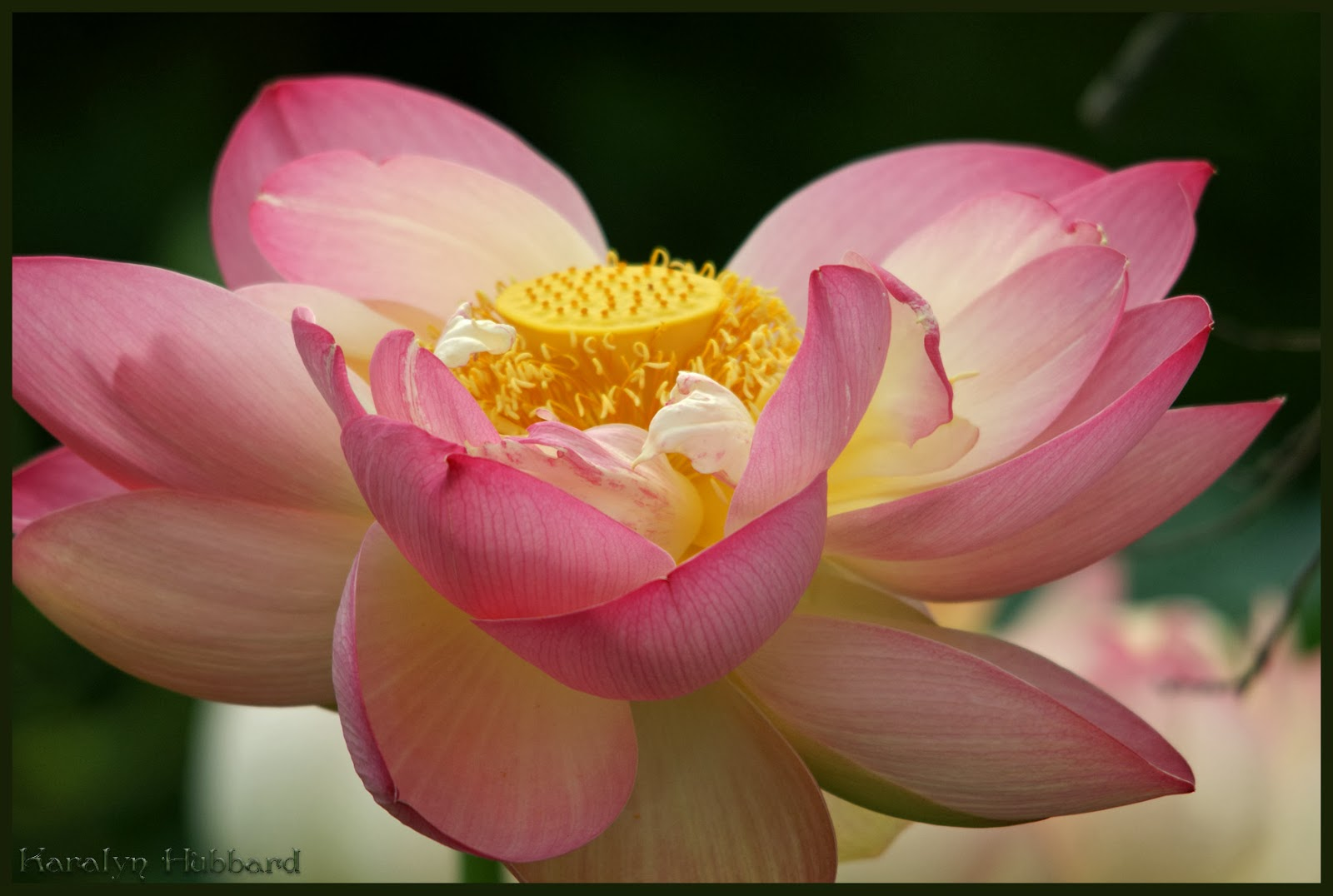 Lotus flower meaning in hindi images beautiful exotic flowers lotus flower wikipedia in hindi gallery flower decoration ideas mightylinksfo