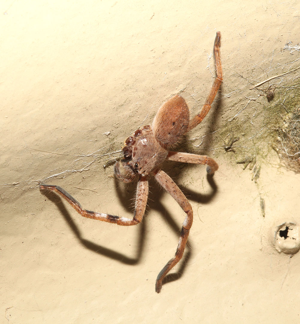Spiders Seem To Be Getting More >> The Spiderblogger Fourlegs A Huntsman With Only Four Legs