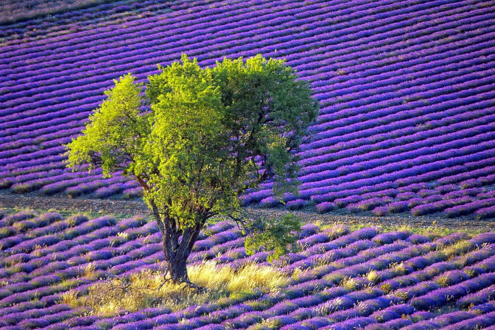 lavender wallpaper for mobile