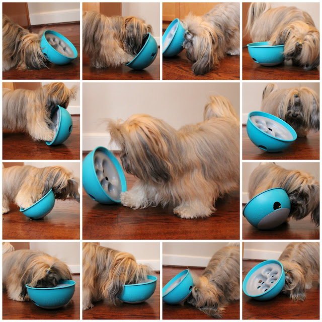 Rocco Havanese with PAW5 Rock 'N Bowl