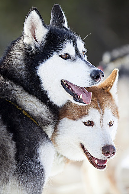 Life Expectancy in Siberian Huskies