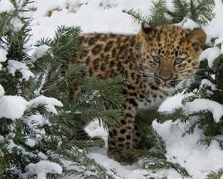 Macan Tutul Amur