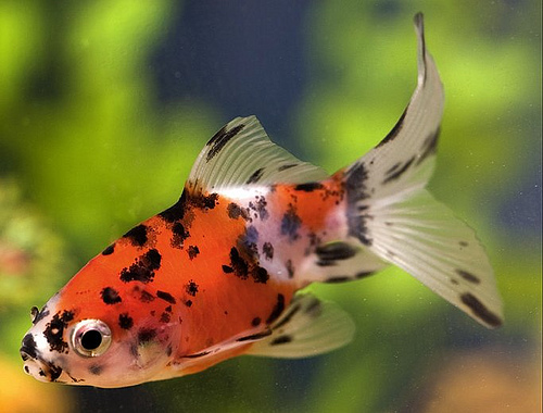 1000 ideas about shubunkin goldfish on pinterest for Shubunkin fische