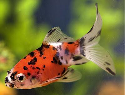 Shubunkin Goldfish 1