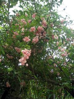 Mussaenda philippica, La Ceiba, Honduras