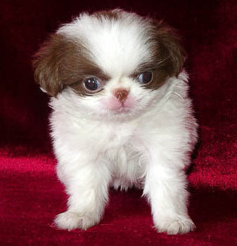 Japanese Chin Puppies on Japanese Chin Puppy Best Photos   Puppy Photos Collection
