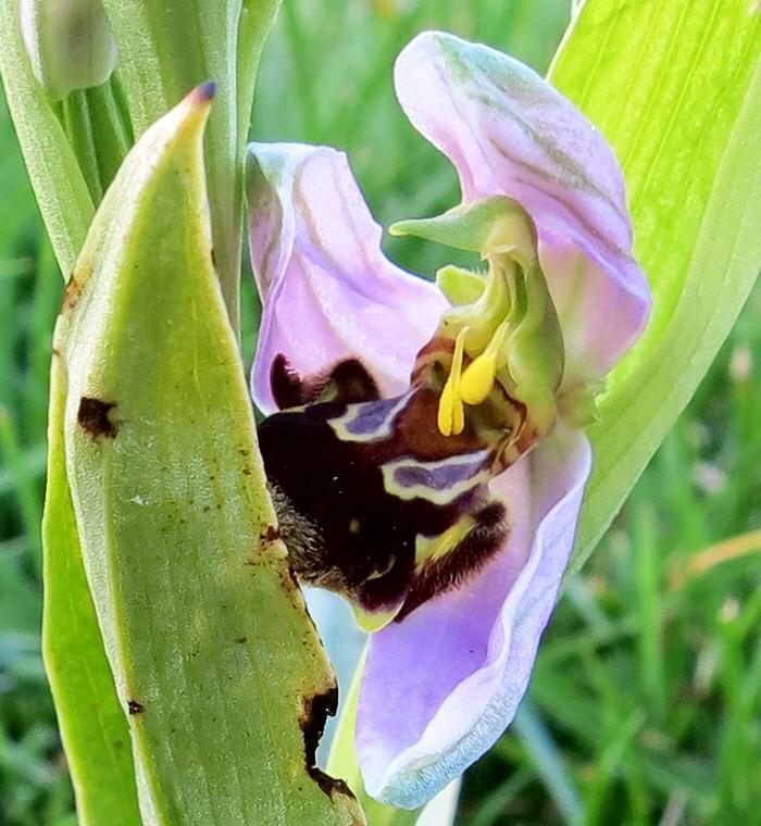 Fleur d'ophrys abeille