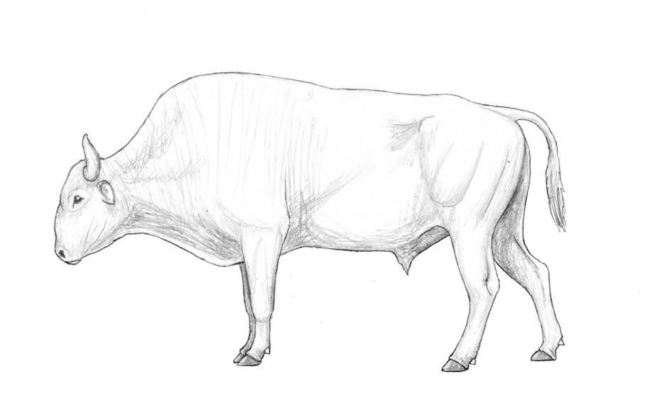 The Breeding-back Blog: Hairless bison, yak and a fluffy aurochs