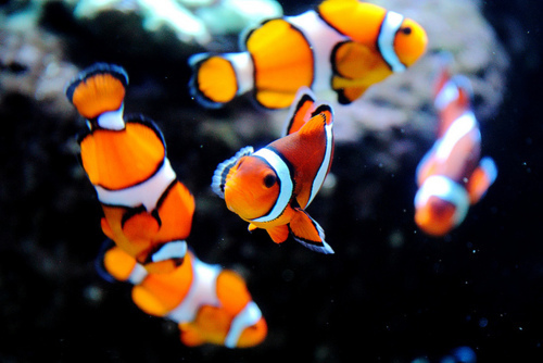 High heels and diet dr pepper clown fish for Clown fish nemo