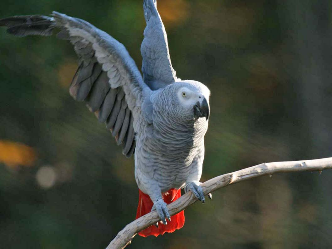 how to play with african grey parrot