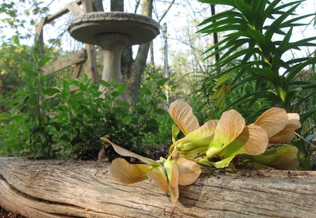 Folkways Notebook Eating Maple Tree Seeds