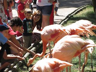 Los animales interactúan con los visitantes del Zoo Aquarium de Madrid. En este caso son los Flamencos