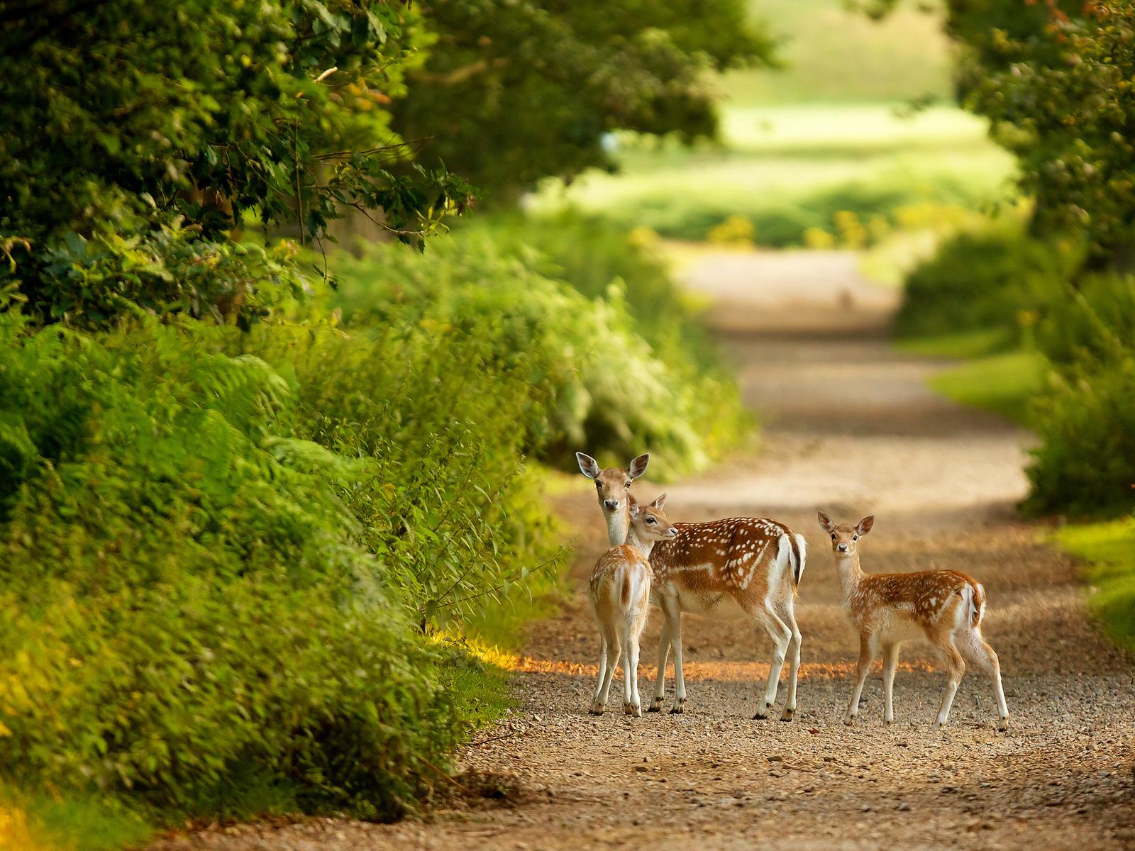 cute gazelle family looking at camera hd wallpaper | hd nature
