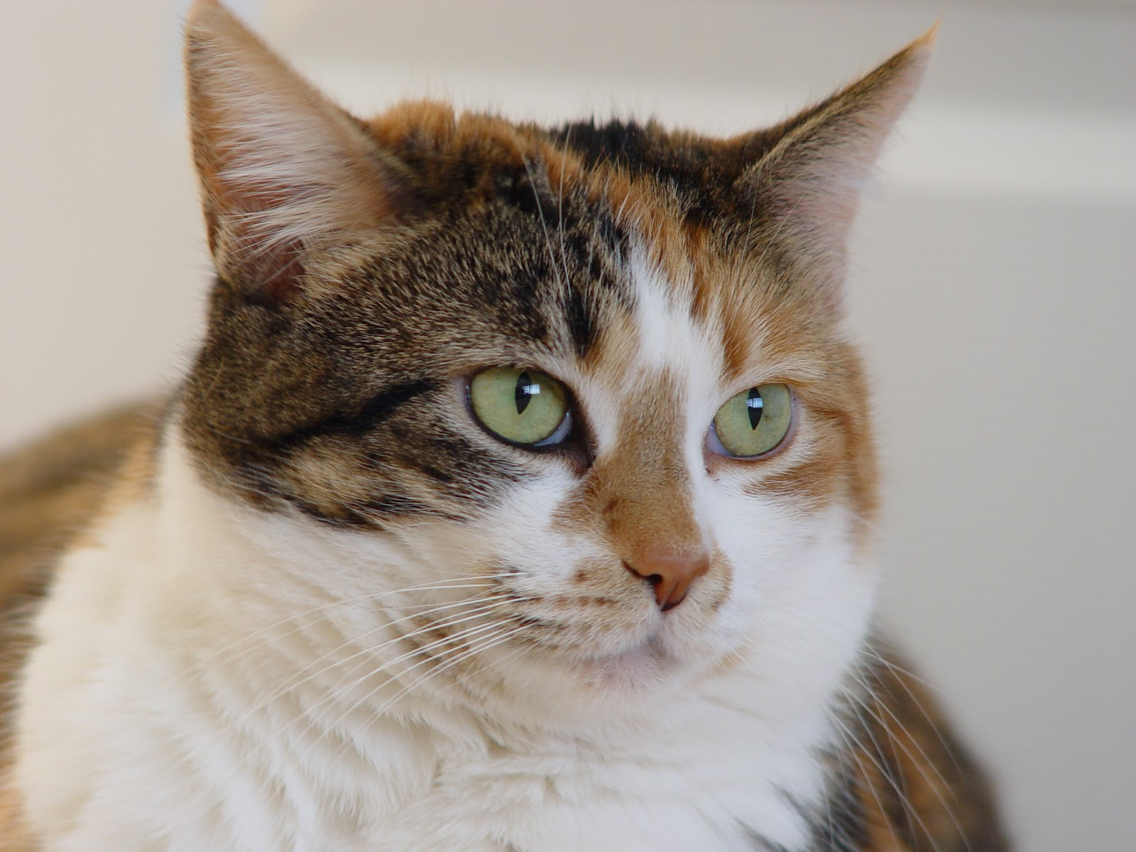 Calico_tabby_cat_-_Savannah.jpg