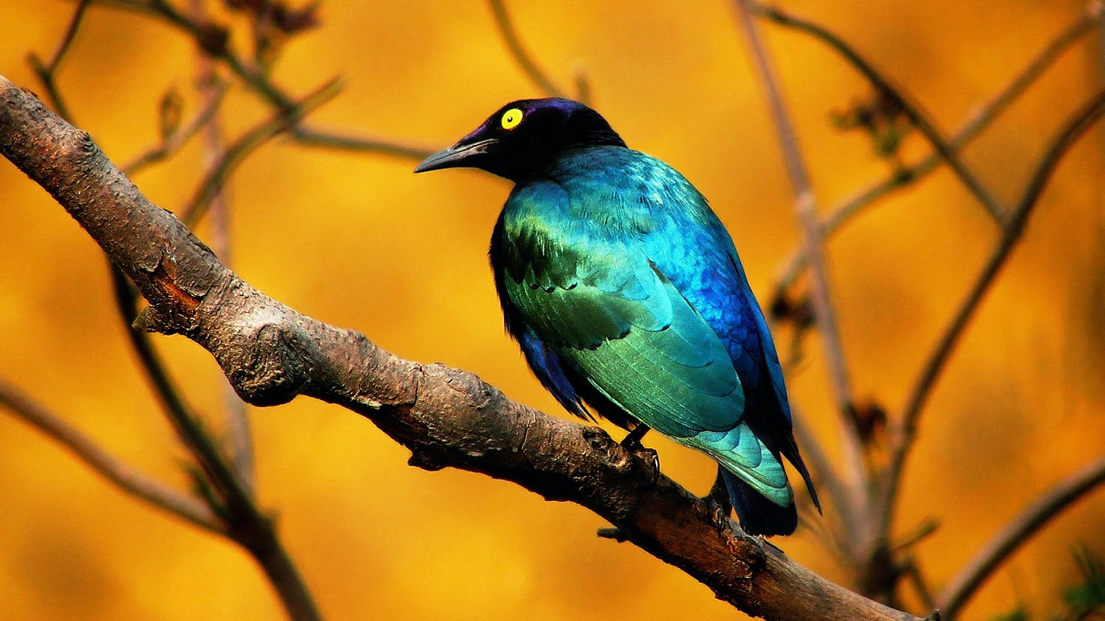 Amazing wallpapers birds hd wallpapers bird wallpapers for Bird wallpaper