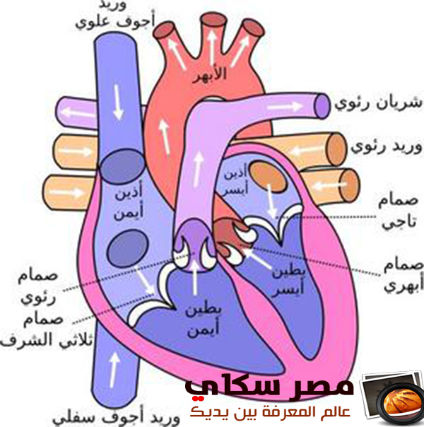 مما يتكون الجهاز الدورى  Circulatory system
