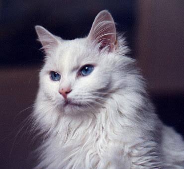 แมวเทอร์คิชแองโกรา