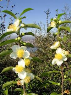 سوی لاهیجان و عطر باغ چای این عکس را کلیک بفرمایید
