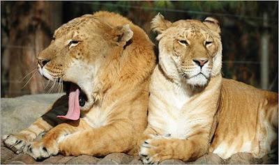 Singa Kawin