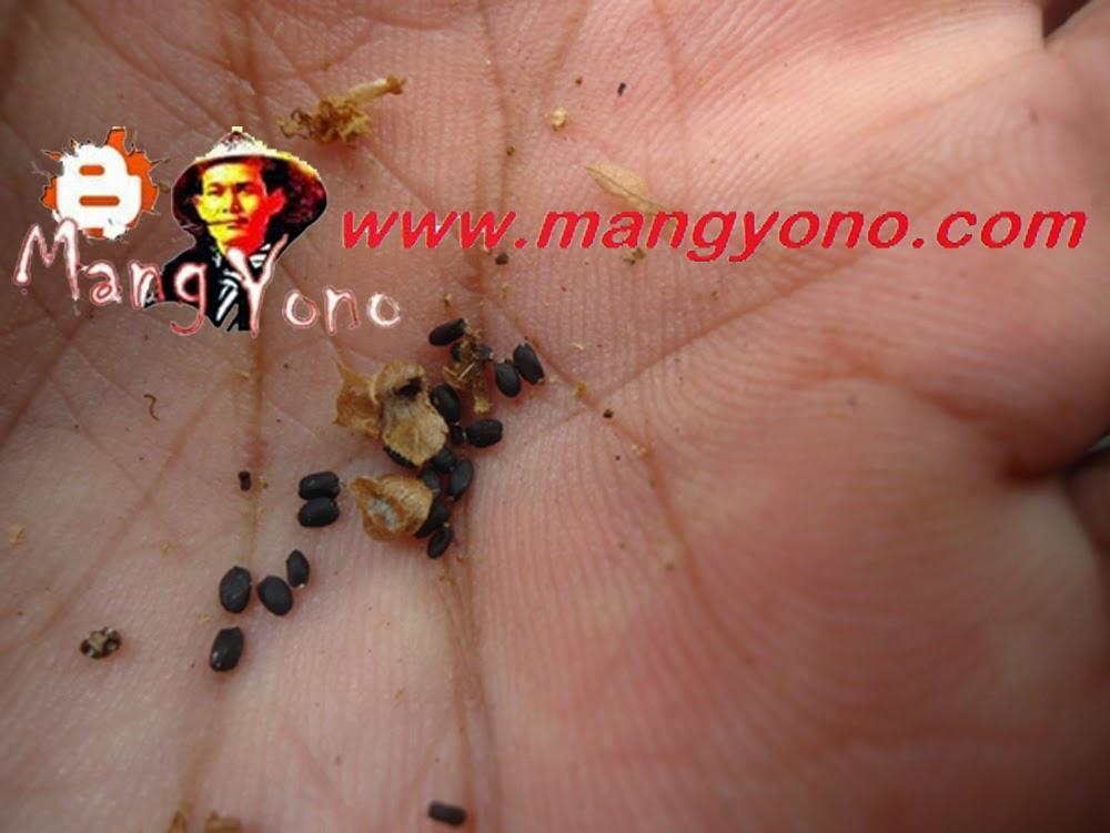Ini adalah biji kemangi yang sudah dikeluarkan dari cangkangnya.
