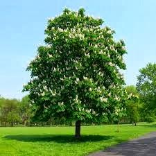 Árbol de Aesculus hippocastanum