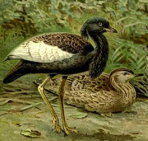 Indian birds - Image of Bengal florican - Houbaropsis bengalensis