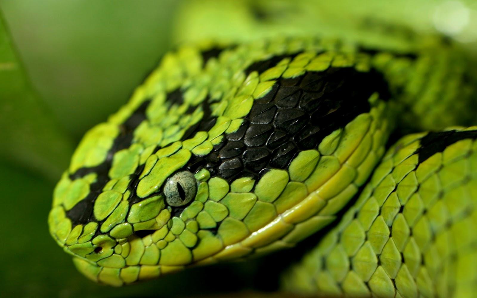 snake wallpaper dangerous - photo #16