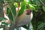 Unlike the monkeys the sloth stayed for most of the day, hanging in the tree . two toed sloth