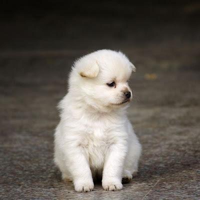Cún lông trắng đáng yêu