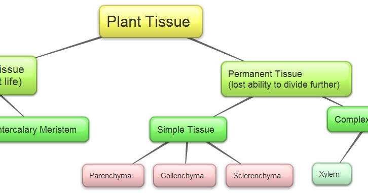 examination of basic animal and plant tissues Which could be asked in the examination tissue q1 name the  to form a  tissue on a broad basis tissues are divided into two: animal tissue and plant  tissue.