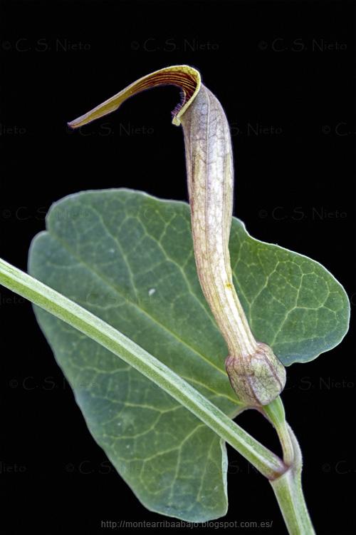 Aristolochia paucinervis