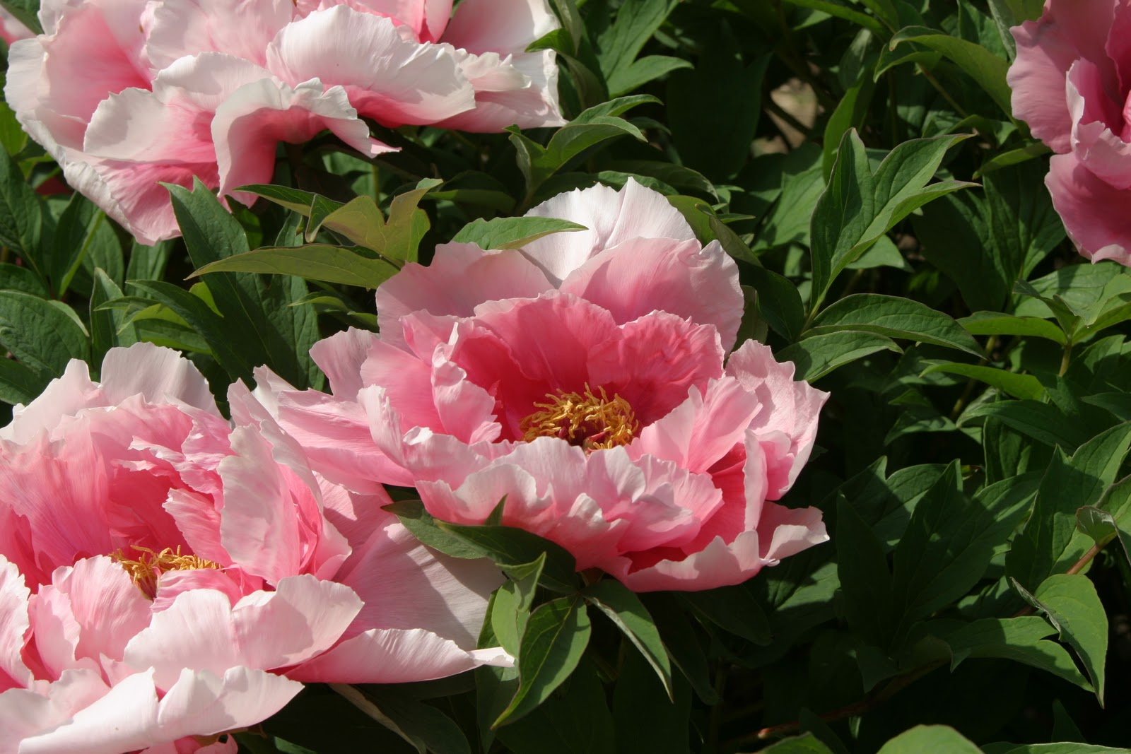 another beautiful variety of tree peonies at linwood gardens