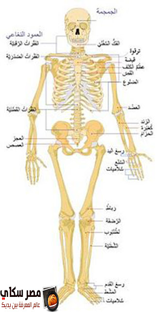 تعرف على تكوين الجهاز الهيكلى Skeletal system